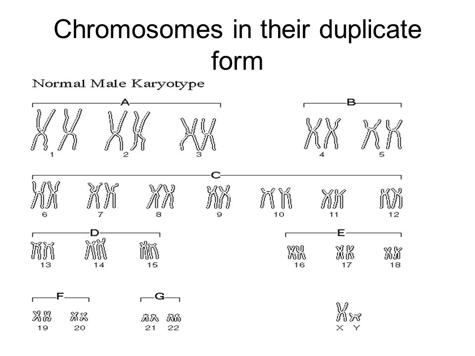 Chromosomes in their duplicate form