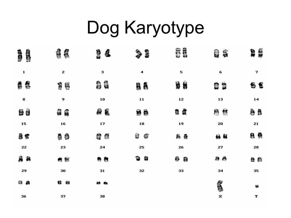 Dog Karyotype