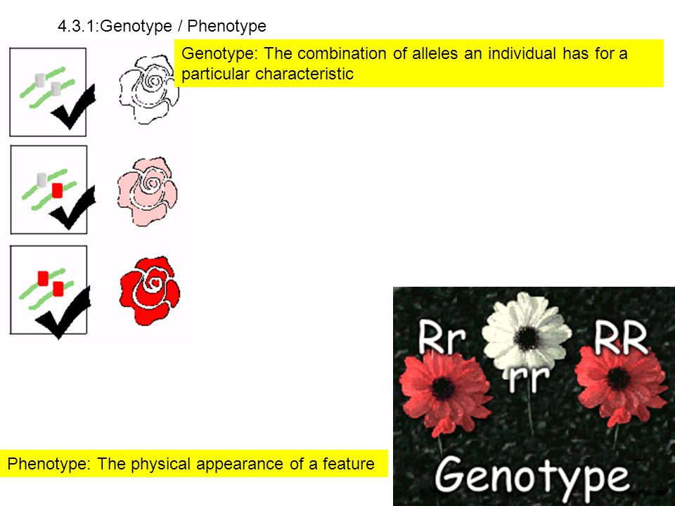 4.3.1:Genotype / Phenotype Genotype: The combination of alleles an individual has for a particular characteristic.
