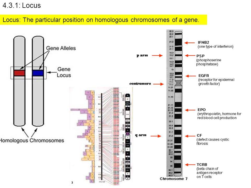 4.3.1: Locus Locus: The particular position on homologous chromosomes of a gene.