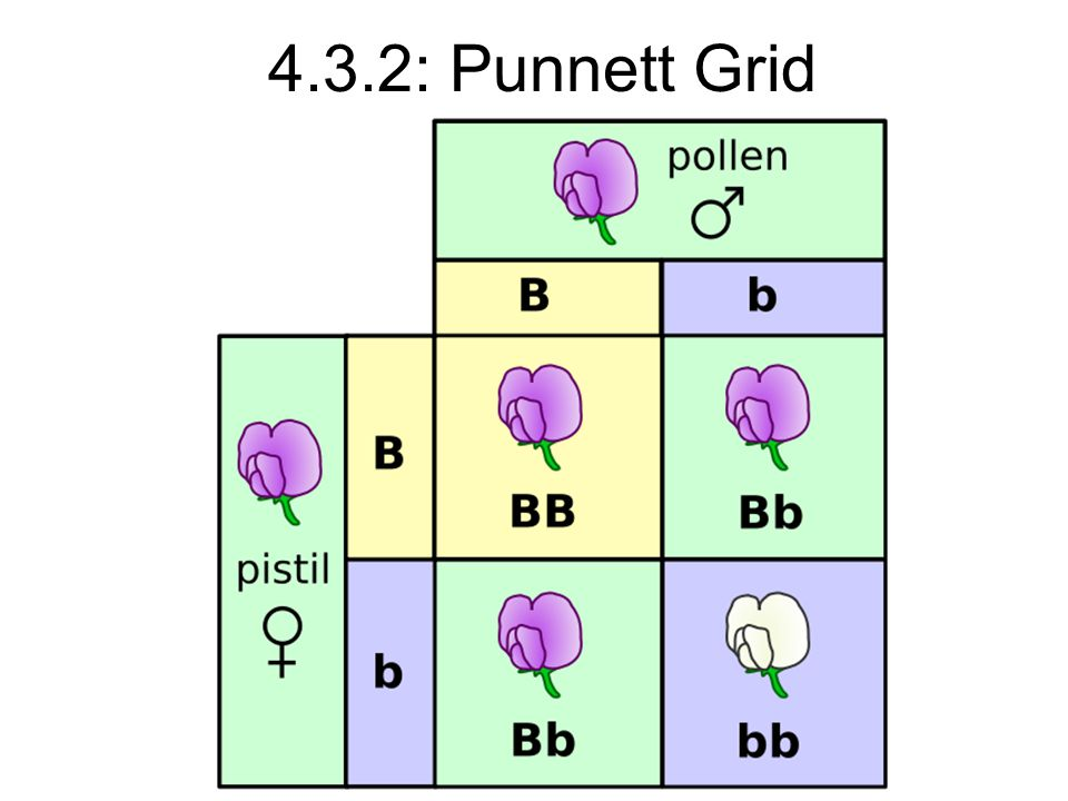 4.3.2: Punnett Grid