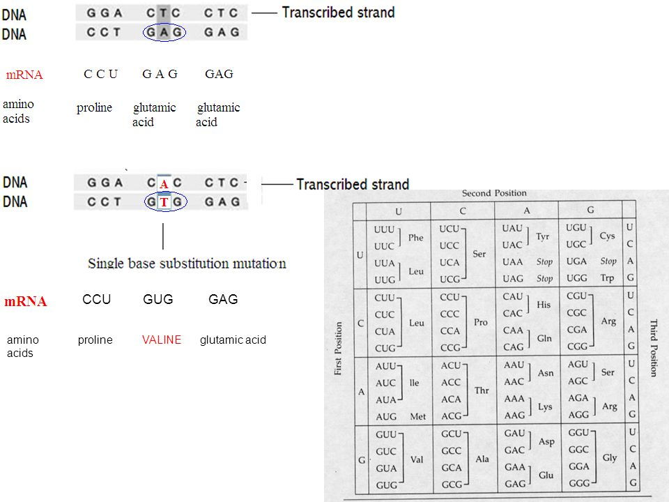 CCU GUG GAG amino proline VALINE glutamic acid acids