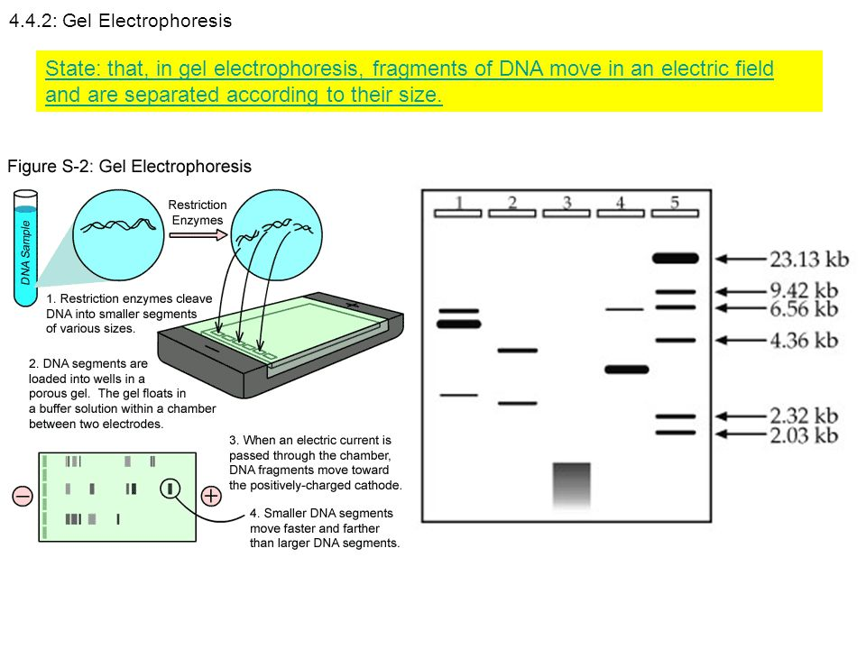 4.4.2: Gel Electrophoresis State: that, in gel electrophoresis, fragments of DNA move in an electric field and are separated according to their size.