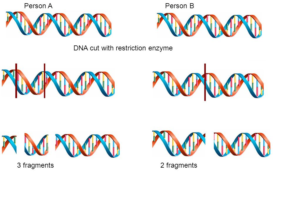 Person A Person B DNA cut with restriction enzyme 3 fragments 2 fragments