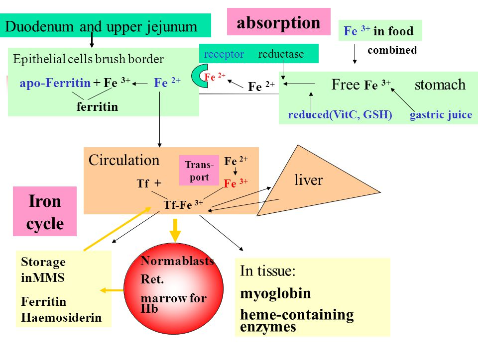 absorption Iron cycle Duodenum and upper jejunum Free Fe 3+ stomach