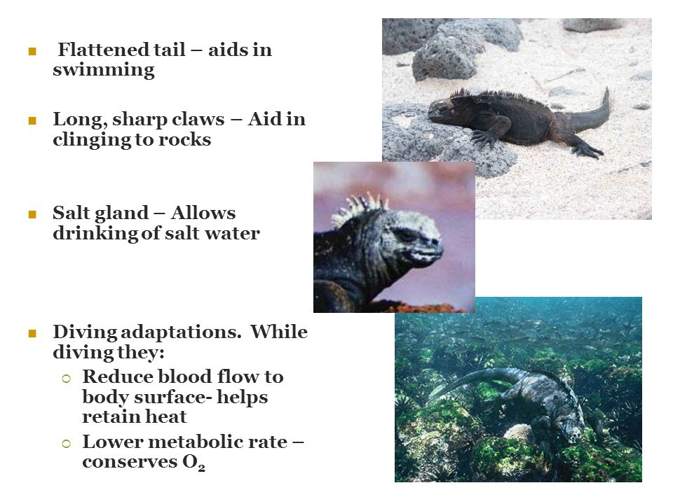 Flattened tail – aids in swimming