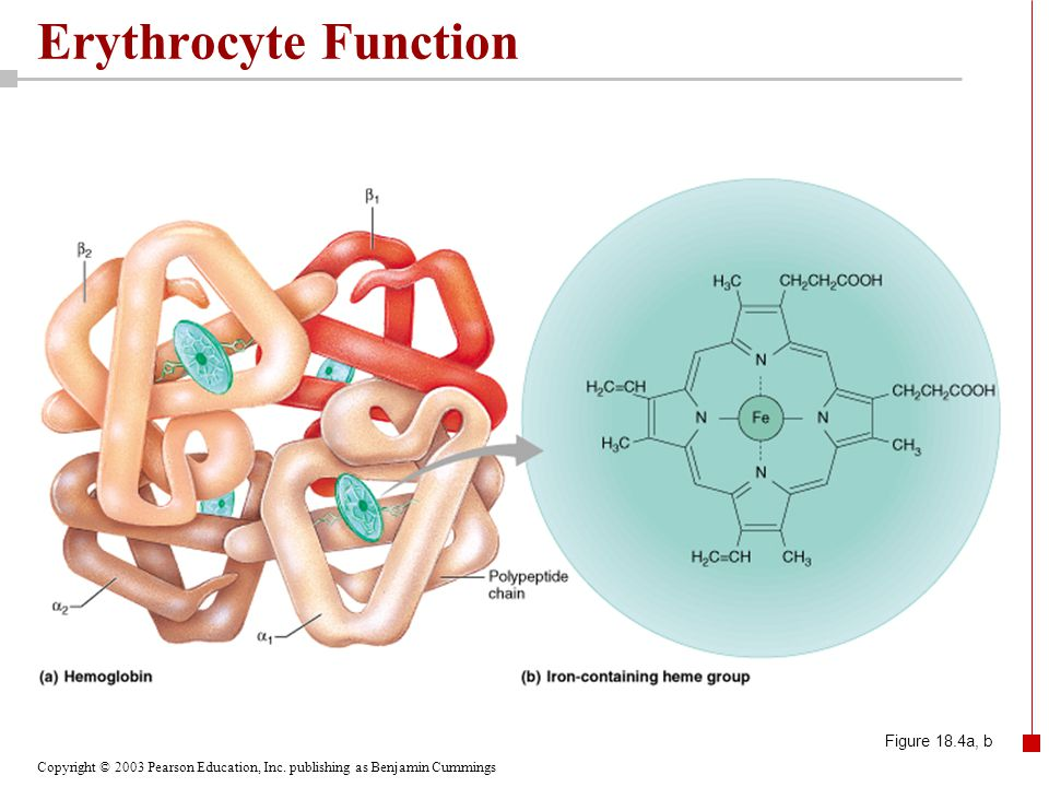 Erythrocyte Function Figure 18.4a, b