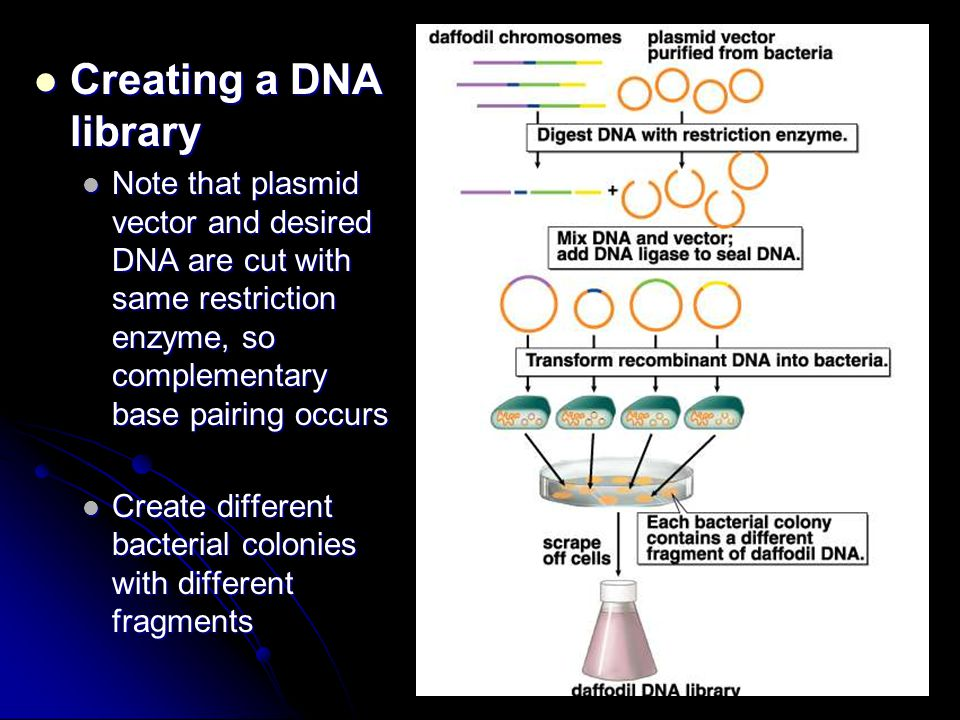 Creating a DNA library Note that plasmid vector and desired DNA are cut with same restriction enzyme, so complementary base pairing occurs.