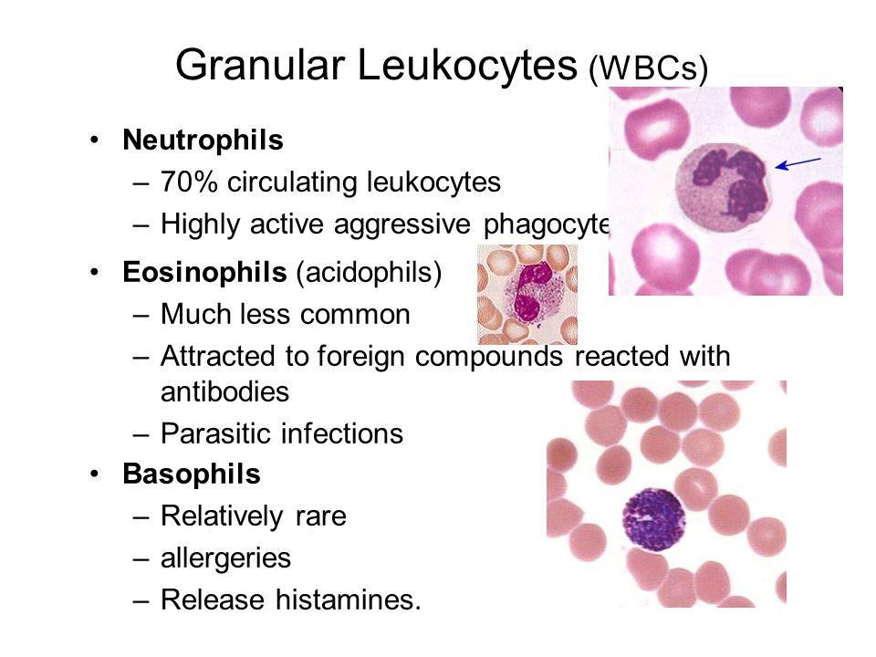 Granular Leukocytes (WBCs)