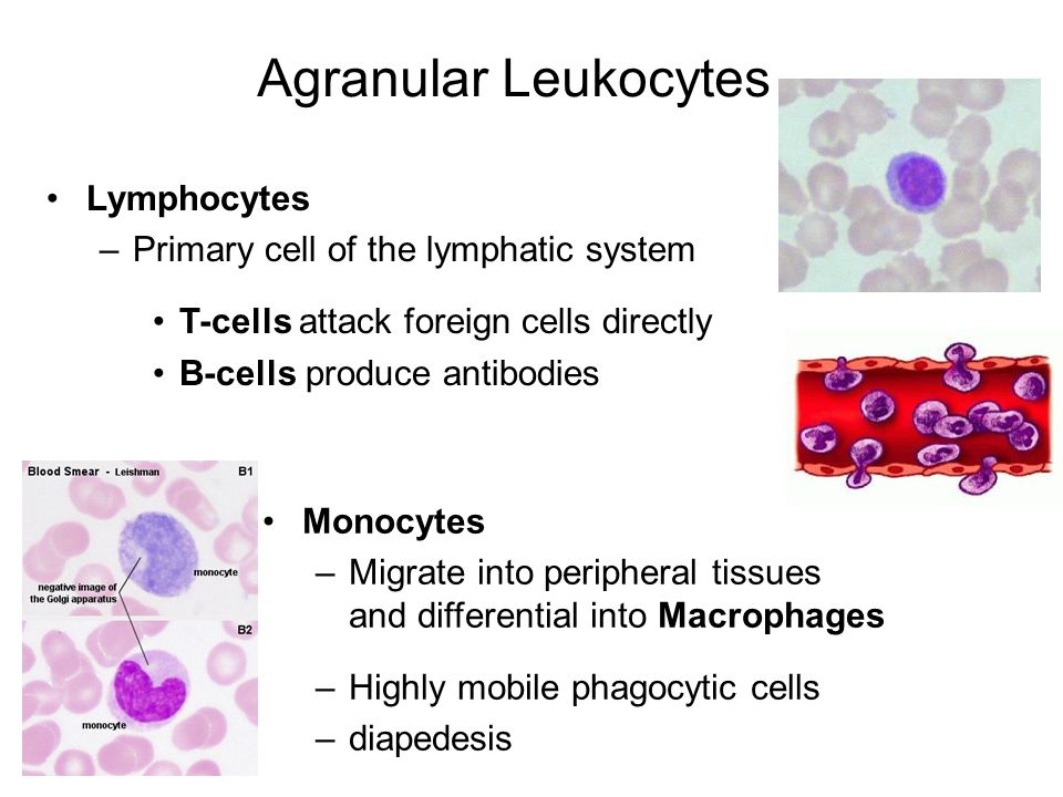 Agranular Leukocytes Lymphocytes Primary cell of the lymphatic system
