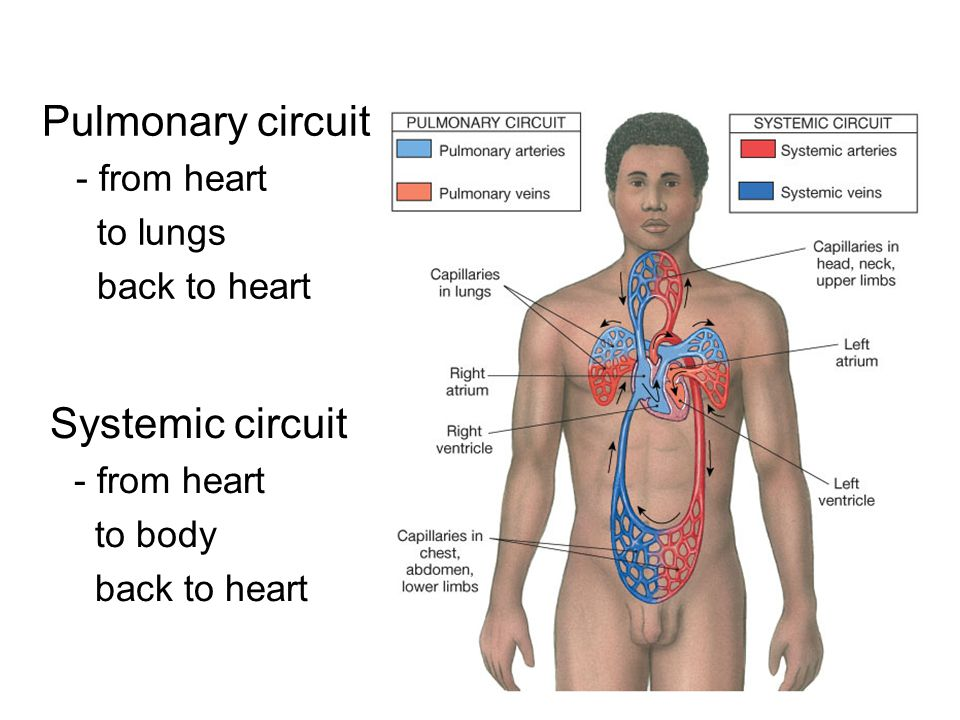 Pulmonary circuit Systemic circuit - from heart to lungs back to heart