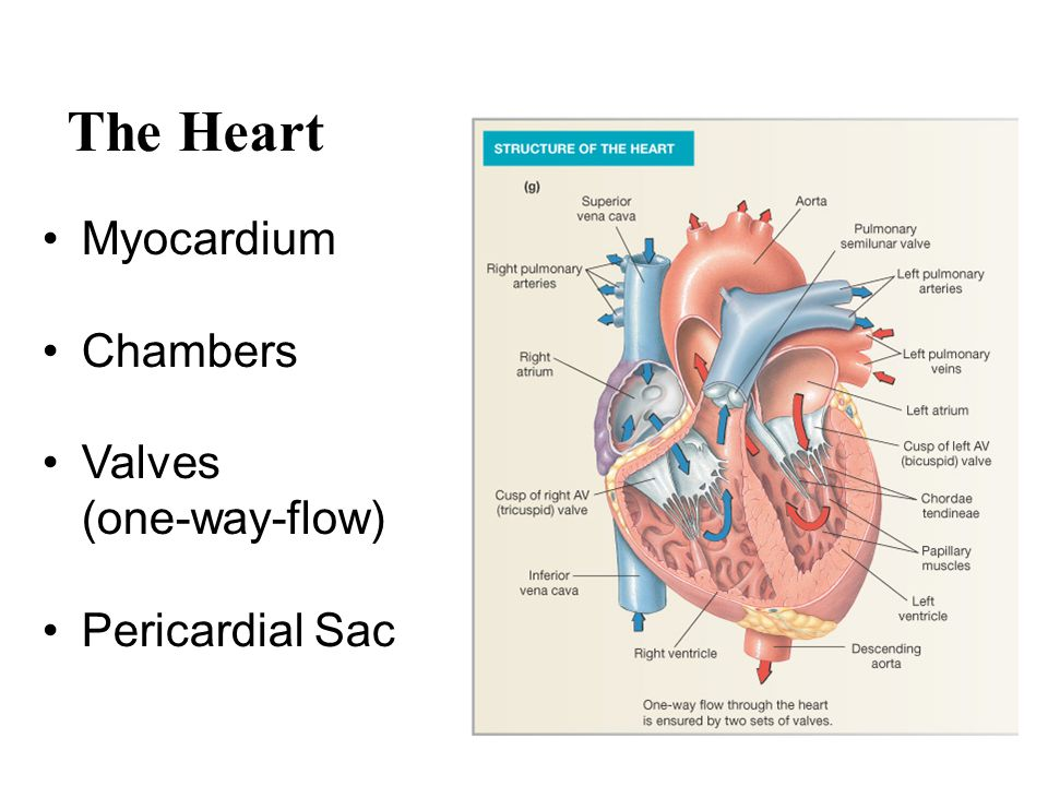 The Heart Myocardium Chambers Valves (one-way-flow) Pericardial Sac