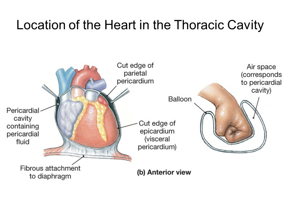 Location of the Heart in the Thoracic Cavity