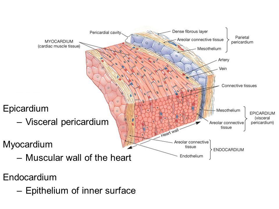 Epicardium Visceral pericardium. Myocardium. Muscular wall of the heart.