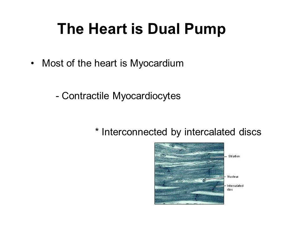 The Heart is Dual Pump Most of the heart is Myocardium
