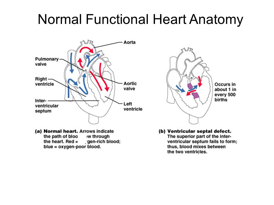 Normal Functional Heart Anatomy