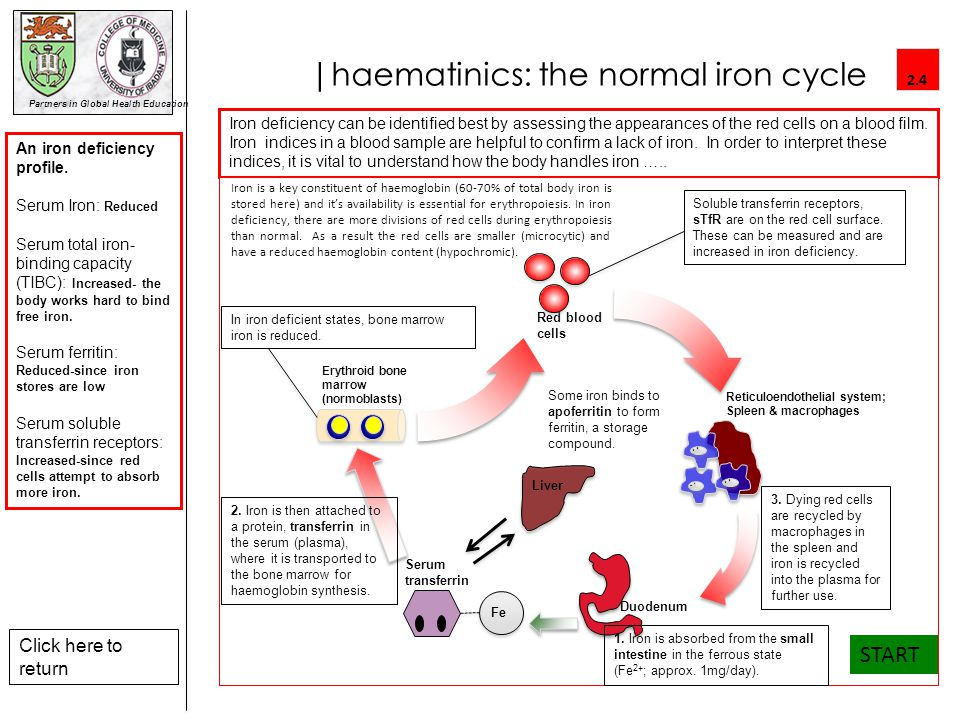 |haematinics: the normal iron cycle