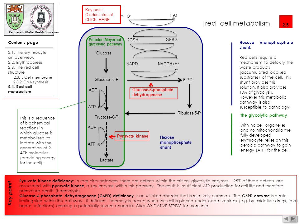 |red cell metabolism 2.5 Key point! Contents page