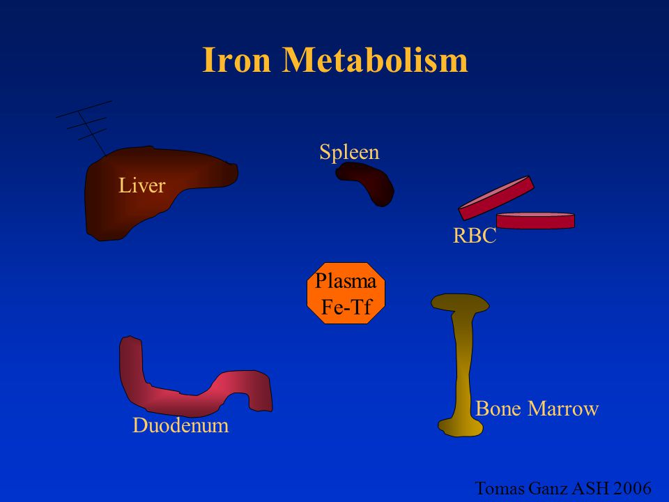 Iron Metabolism Spleen Liver RBC Plasma Fe-Tf Bone Marrow Duodenum