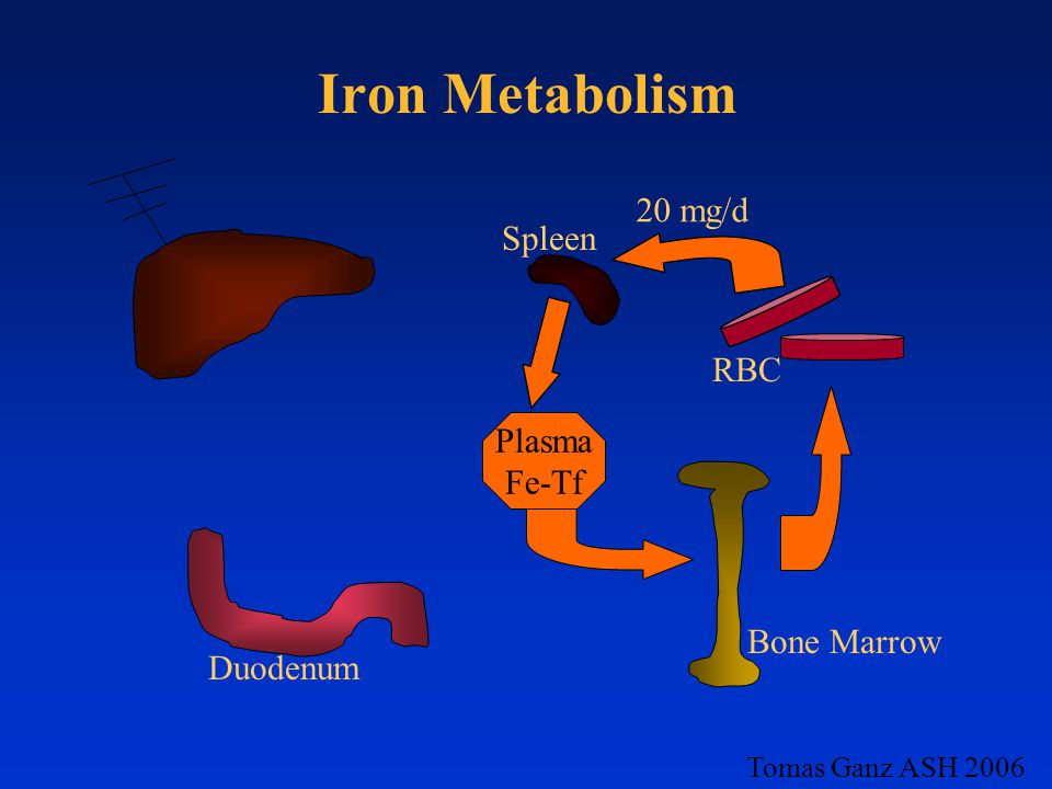 Iron Metabolism 20 mg/d Spleen RBC Plasma Fe-Tf Bone Marrow Duodenum