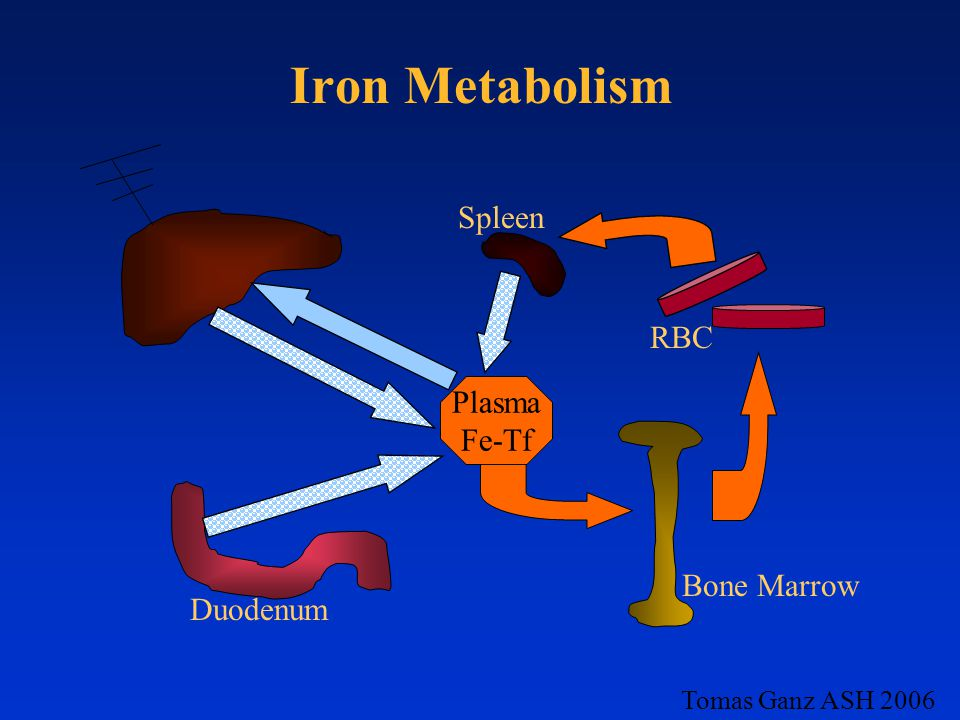 Iron Metabolism Spleen RBC Plasma Fe-Tf Bone Marrow Duodenum