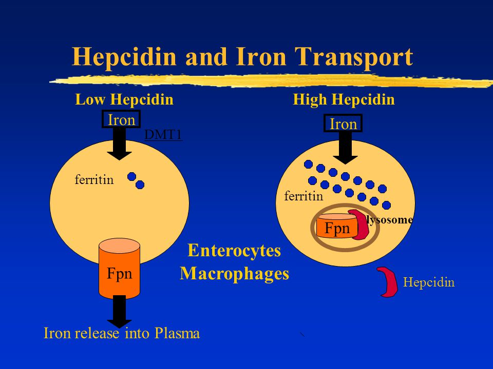 Hepcidin and Iron Transport