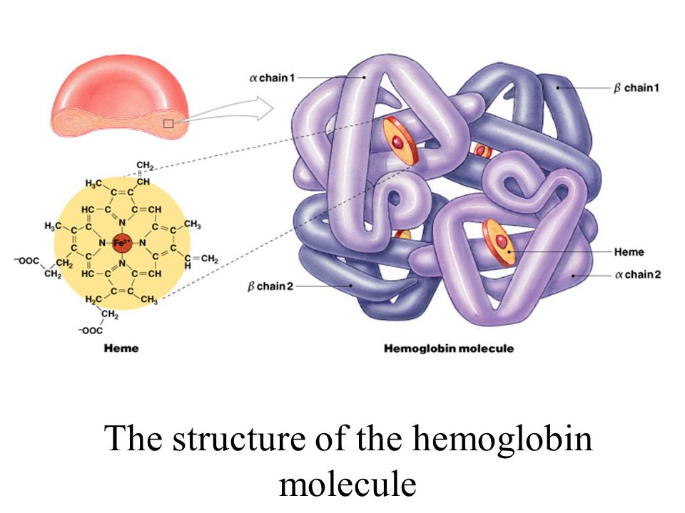 The structure of the hemoglobin molecule