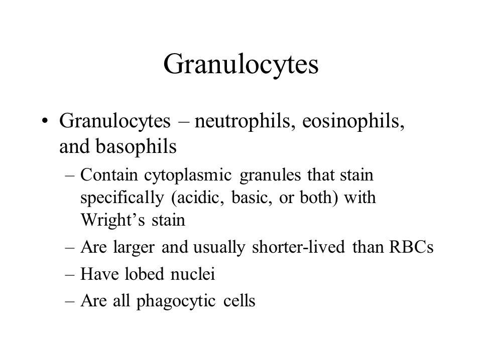 Granulocytes Granulocytes – neutrophils, eosinophils, and basophils