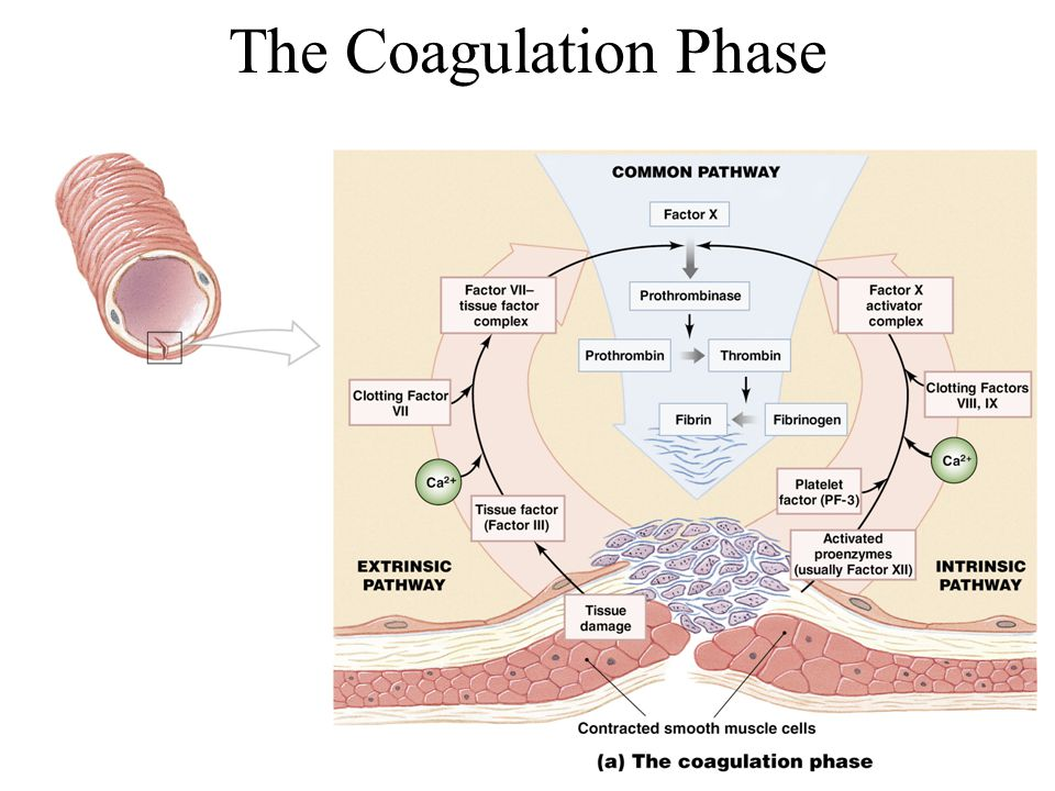 The Coagulation Phase Figure 19–12a