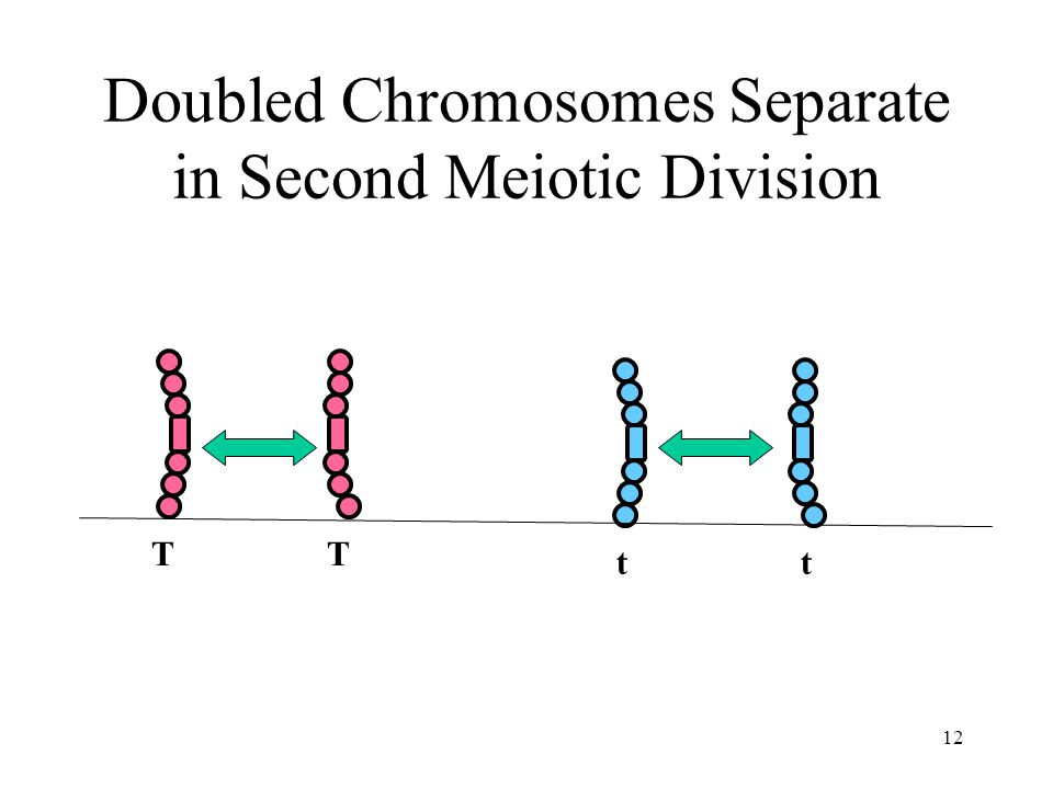 Doubled Chromosomes Separate in Second Meiotic Division