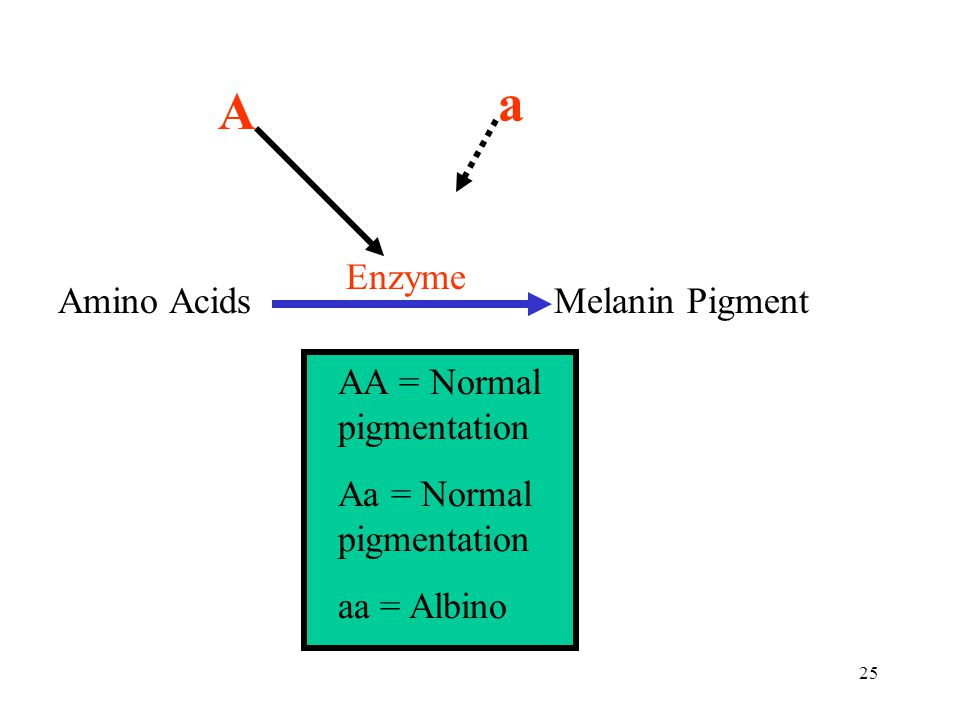 a A Enzyme Amino Acids Melanin Pigment AA = Normal pigmentation