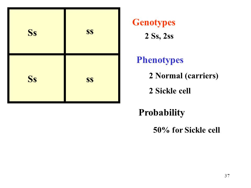 Genotypes ss Ss Phenotypes Probability 2 Ss, 2ss 2 Normal (carriers)