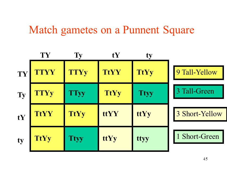 Match gametes on a Punnent Square