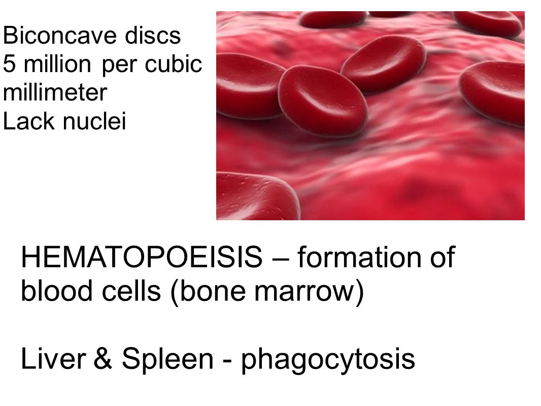 HEMATOPOEISIS – formation of blood cells (bone marrow)