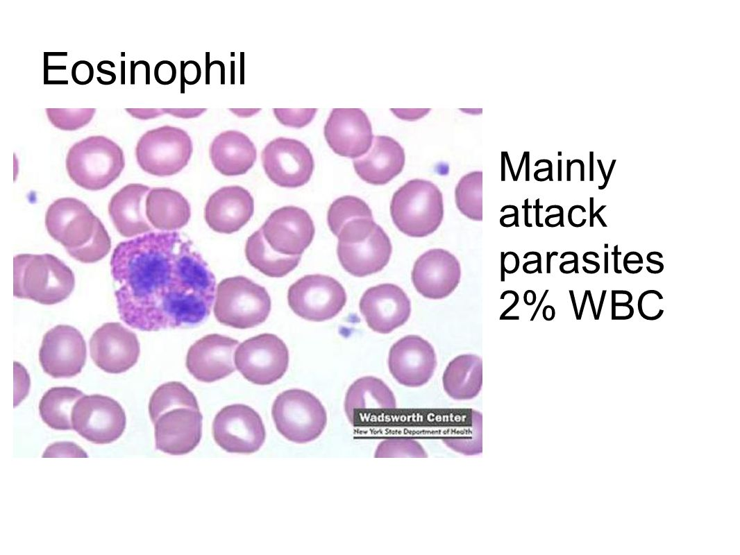 Eosinophil Mainly attack parasites 2% WBC