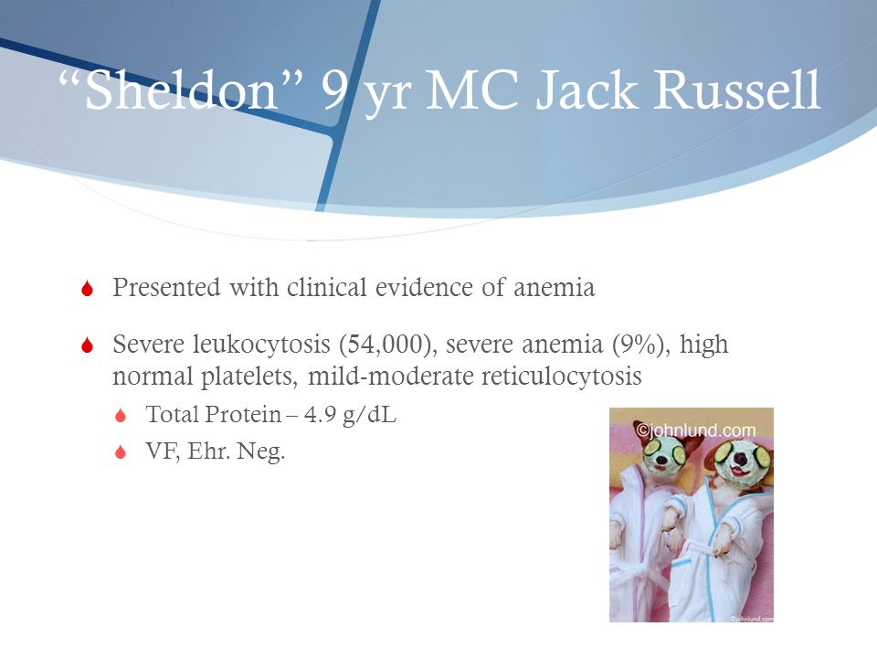 Sheldon 9 yr MC Jack Russell