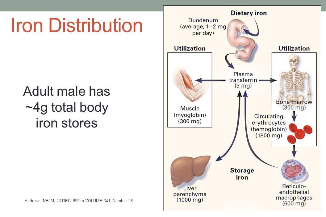 Iron Distribution Adult male has ~4g total body iron stores