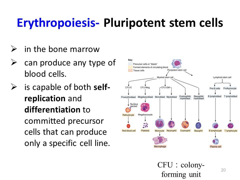 Erythropoiesis- Pluripotent stem cells
