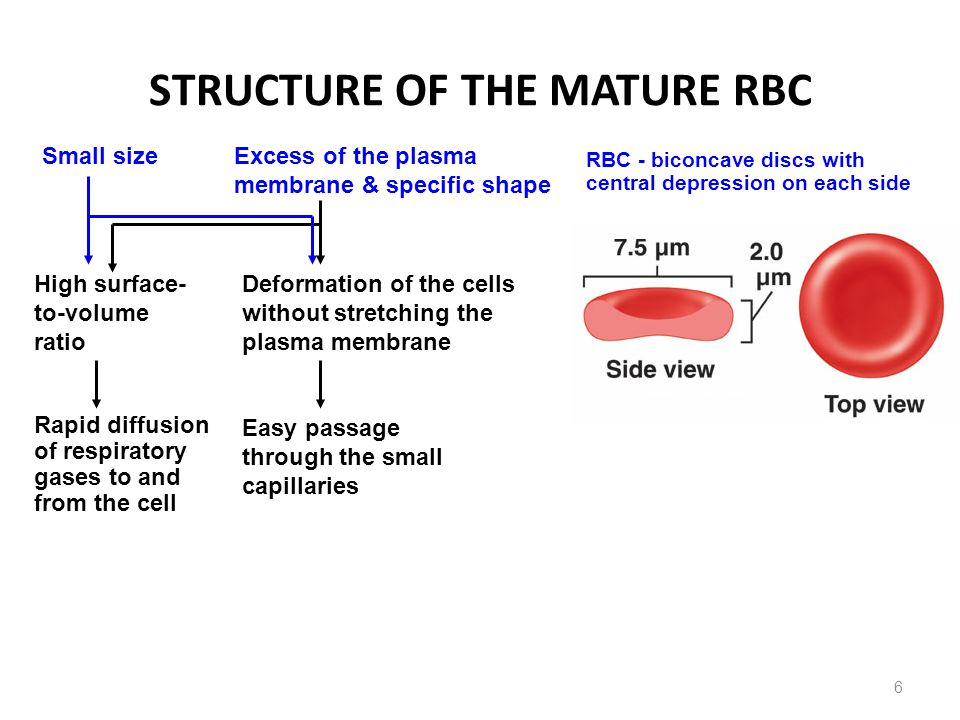 STRUCTURE OF THE MATURE RBC