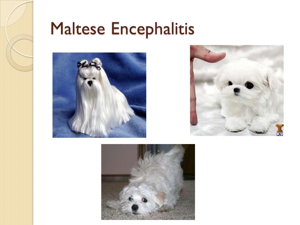 Maltese Encephalitis