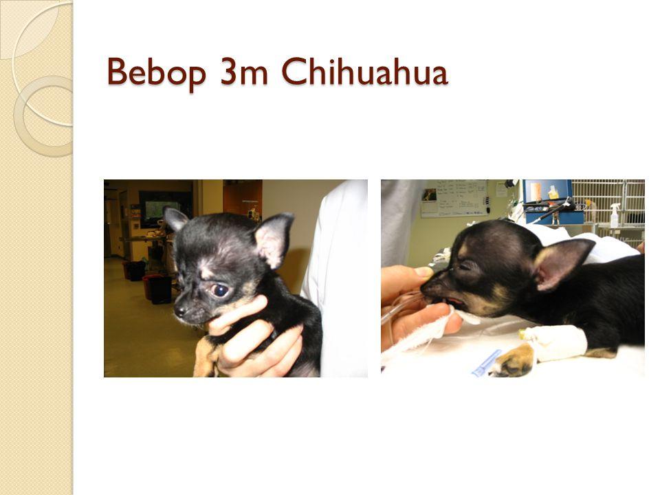 Bebop 3m Chihuahua