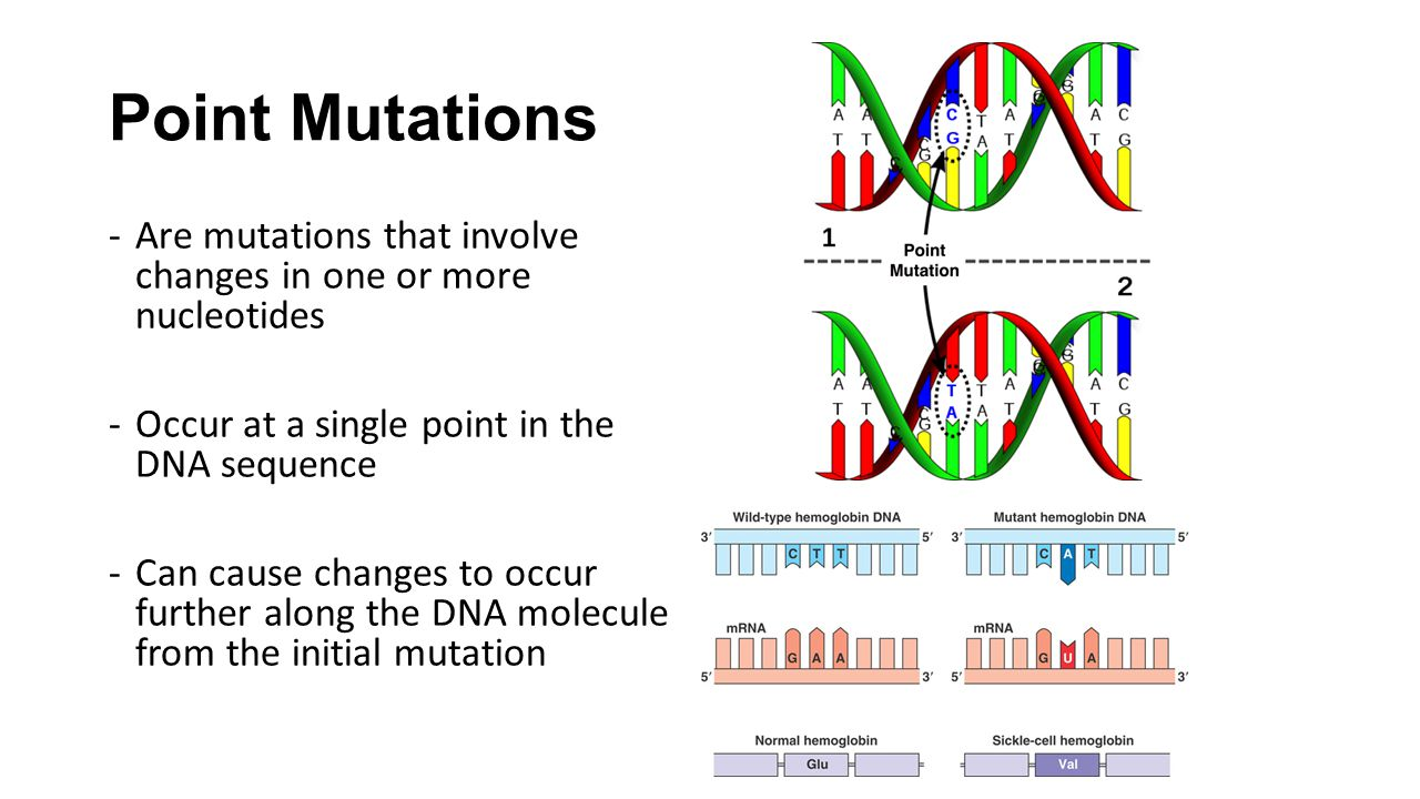 Point Mutations Are mutations that involve changes in one or more nucleotides. Occur at a single point in the DNA sequence.