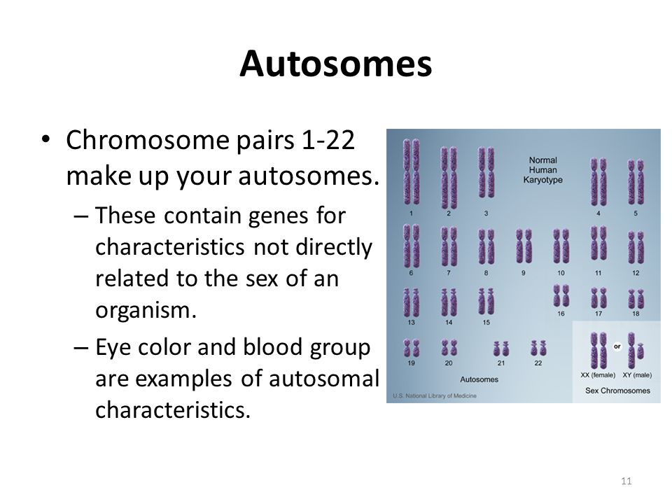 Autosomes Chromosome pairs 1-22 make up your autosomes.