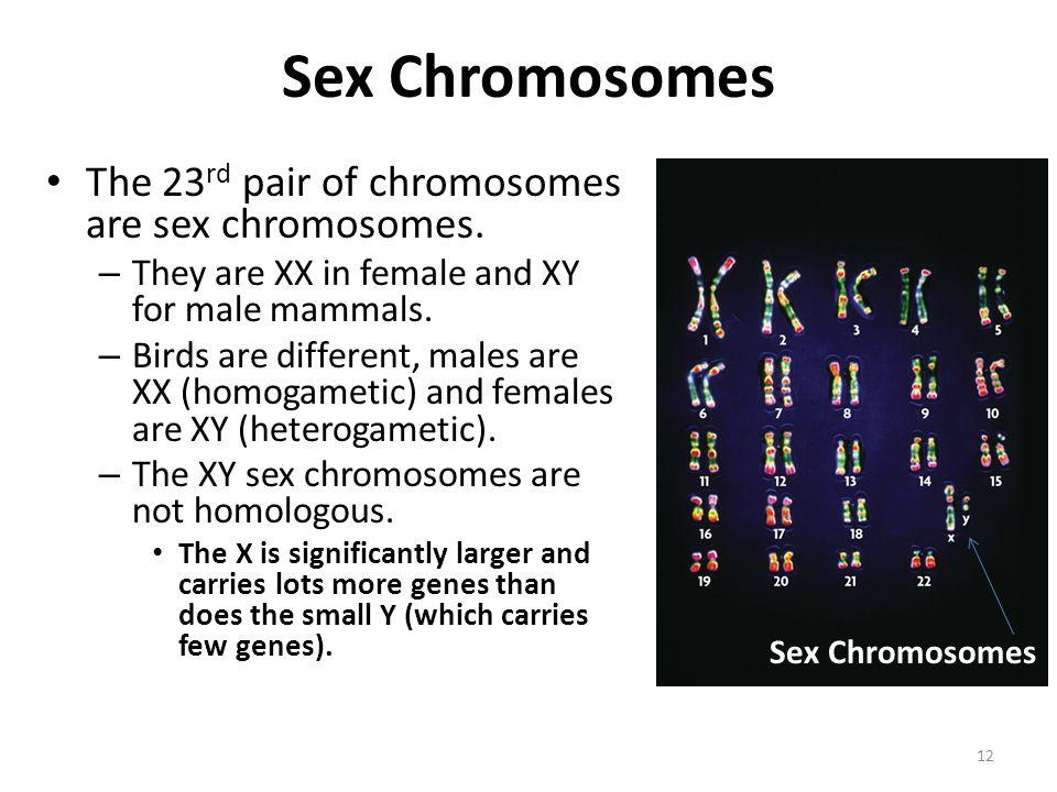 Sex Chromosomes The 23rd pair of chromosomes are sex chromosomes.