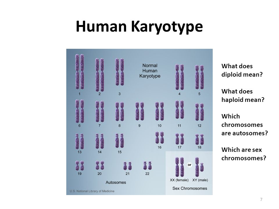 Human Karyotype What does diploid mean What does haploid mean