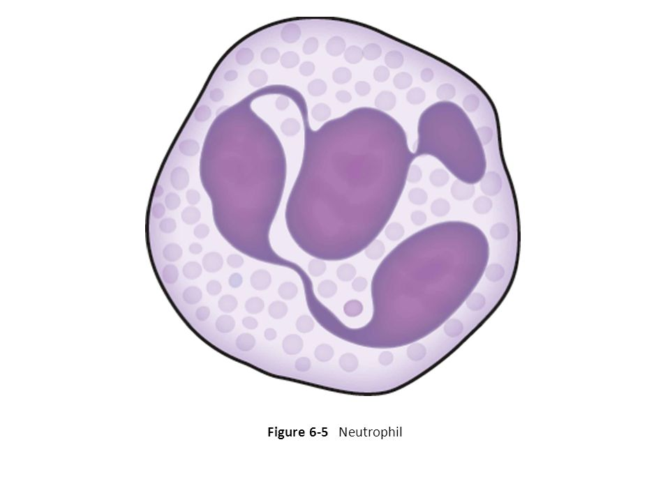 Renumber as Fig. 6-5. Figure 6-5 Neutrophil 20