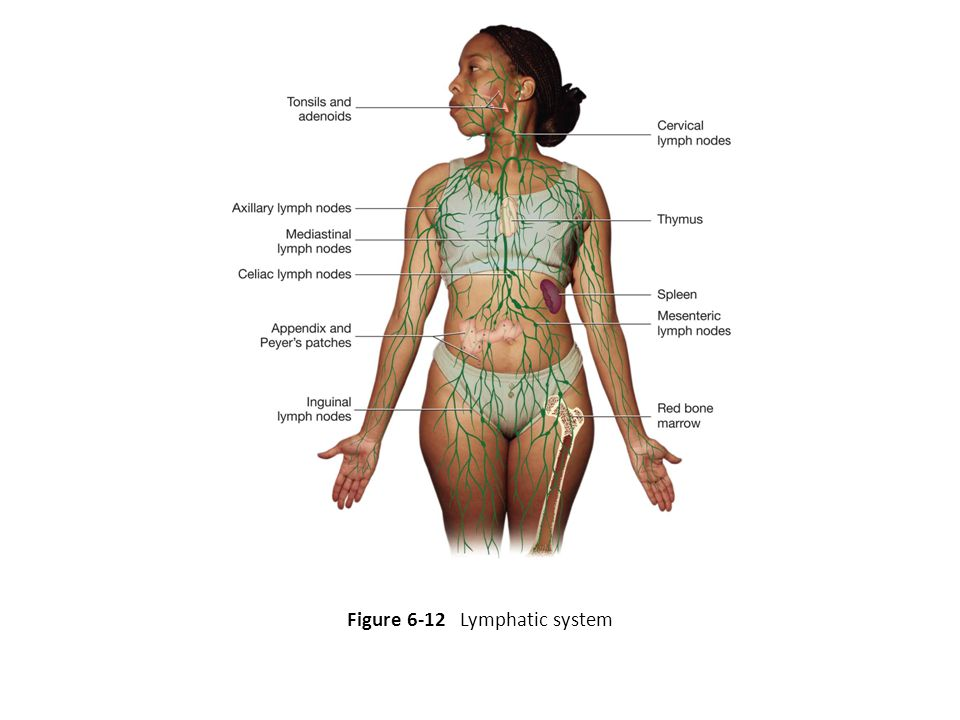 Figure 6-12 Lymphatic system