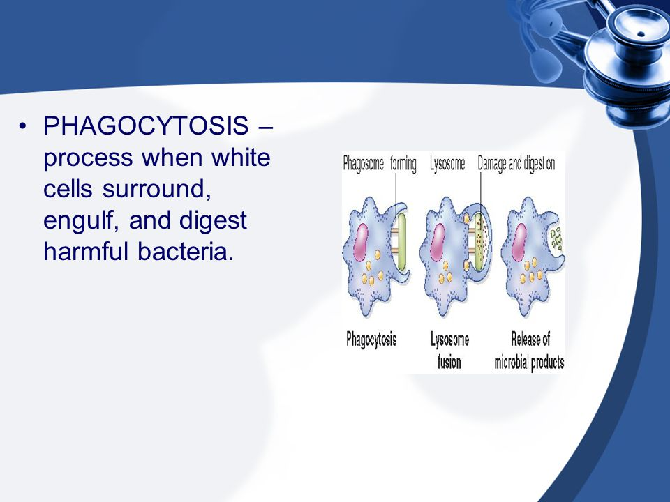 PHAGOCYTOSIS – process when white cells surround, engulf, and digest harmful bacteria.