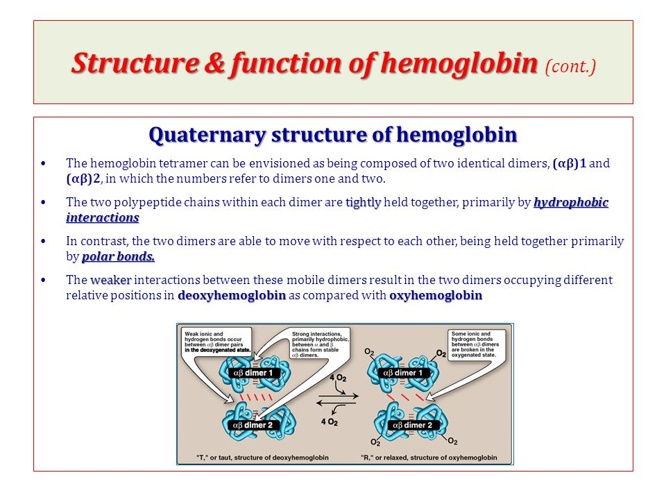 Structure & function of hemoglobin (cont.)