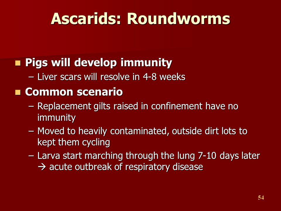 Ascarids: Roundworms Pigs will develop immunity Common scenario